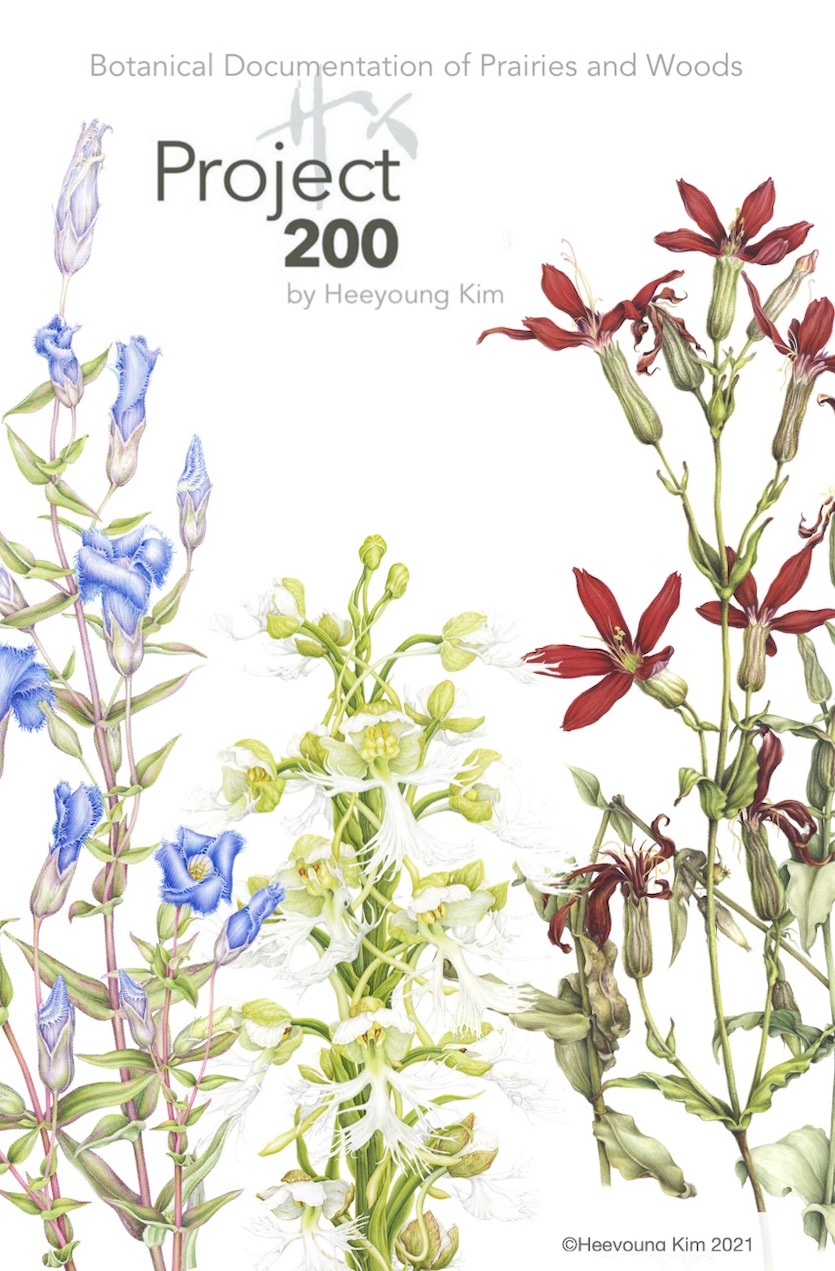 Project 200 logo featuring 3 iconic prairie plants: Fringed Gentian (Gentiana crinita), Eastern White Fringed Orchid (Platanthera leucophaea), Royal Catchfly (Silene regia). ©Heeyoung Kim  @Heeyoung Kim 2021. Watercolor on paper.