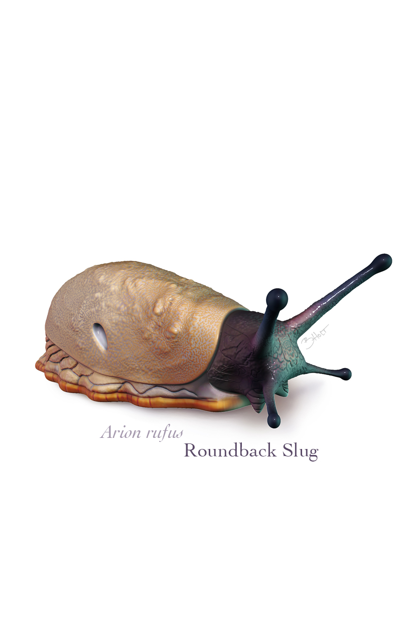 Arion rufus, roundback slug    This model was sculpted and painted within Pixologic ZBrush in preparation for the Intro to ZBrush workshop.  ©2021, Brandon Holt MSMI, CMI