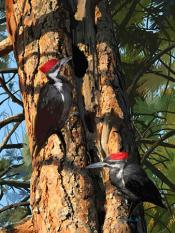 >Image by Pam Little; Pileated Woodpeckers at Nest, 2011.