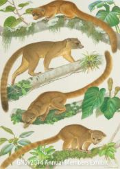 Nancy Halliday/ a new species, the Olinguito, and its nearest relatives/ watercolor