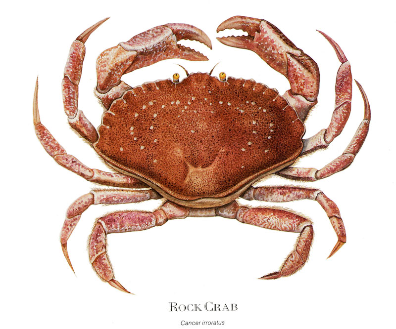 Rock Crab by S. Landry