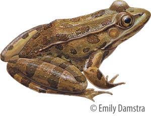 E. Damstra Leopard Frog