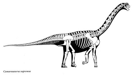 Fig. 1 - skeletal reconstruction of camarasaurus supremus by greg s. Paul from his book, the princeton field guide to dinosaurs. Image © greg s. Paul, used with permission.