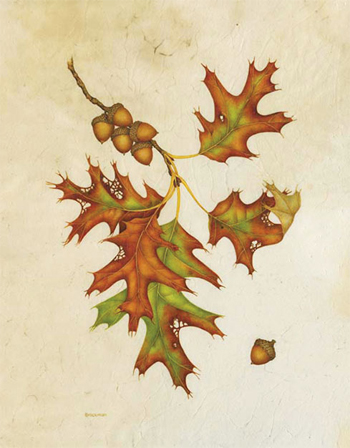 Red Oak: Quercus rubra Watercolor on Vellum Wendy Brockman