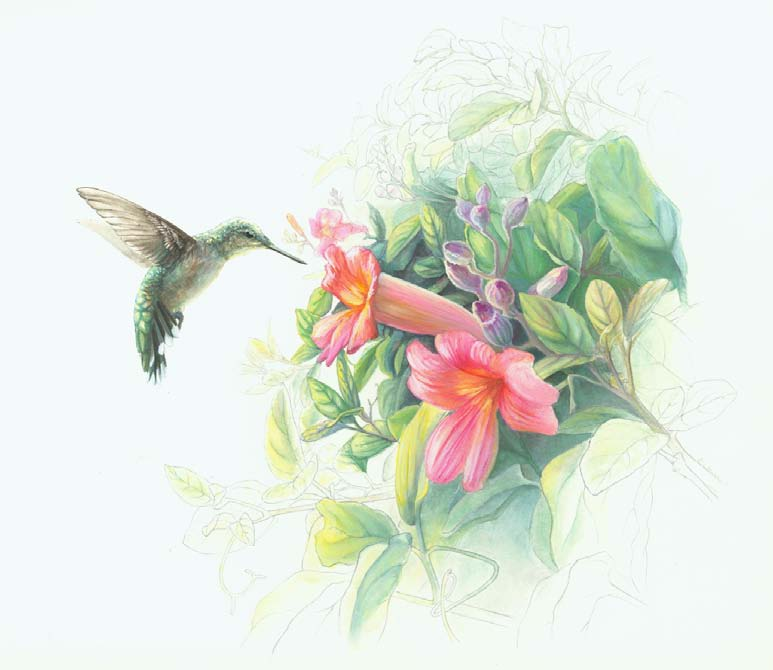 HUMMINGBIRD AND TRUMPET VINE BY CHRISTIE NEWMAN. GOUACHE AND GRAPHITE ON ILLUSTRATION BOARD.