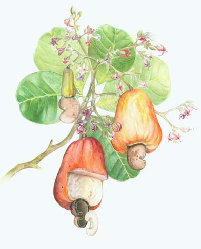 Cashew nut, Anacardium occidentale by Jane Kim, watercolor and colored pencil on illustration board