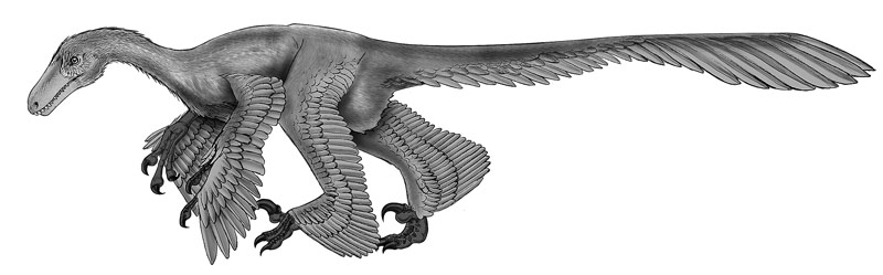 Acheroraptor, a feathered velociraptorine dromaeosaur from the Hell Creek Formation of Montana. Graphite pencil rendered in Photoshop®, published in Carr, T. D., M. Seitz and D. Pulerà. 2017. Fossils of the Hell Creek Formation: A Carthage Institute of Paleontology Field Guide, Third Edition. Kenosha: Self published.
