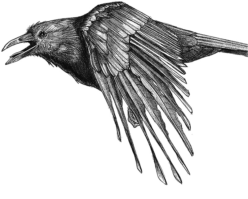 American crow Corvus brachyrhynchos Pencil illustration created for Celia Godkin's non-credit natural science illustration course.