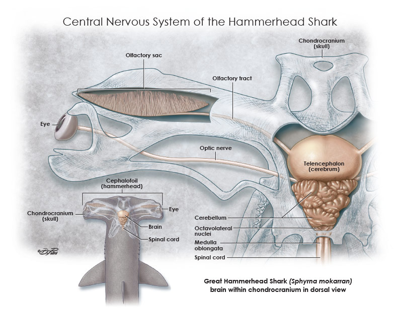 Central nervous system of the Great Hammerhead Shark (Sphyrna mokorran) created as a personal research project.