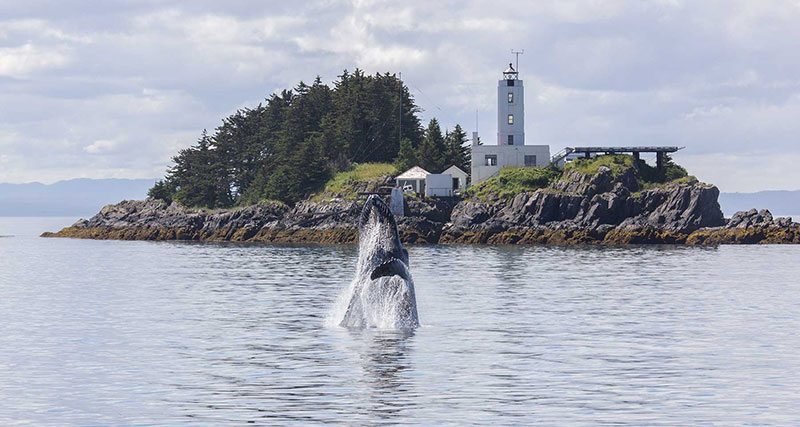 Photo of Five Fingers Lighthouse with breaching Humpback whale in the forground, ©2014 Jane Ruffin