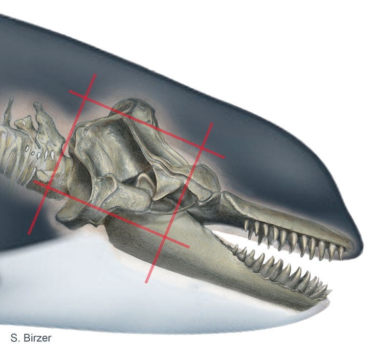 Orcinus orca, Killer Whale cranium [mirrored here], © 2015 Sharon Birzer, (with thanks to VZAP for bone scan reference)
