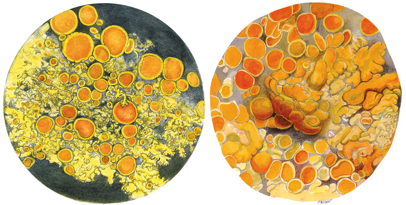 Two species of lichen drawn for interpretive panel (see Fig. 7), © 2015 Sharon Birzer/ (left) Candalaria Meneziesii on sitka spruce twig, (right) Xanthoria sp.