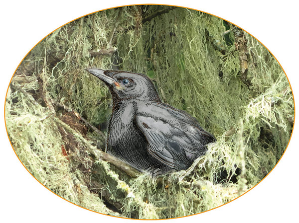 Illustration of baby crow; © 2015 Sharon Birzer.