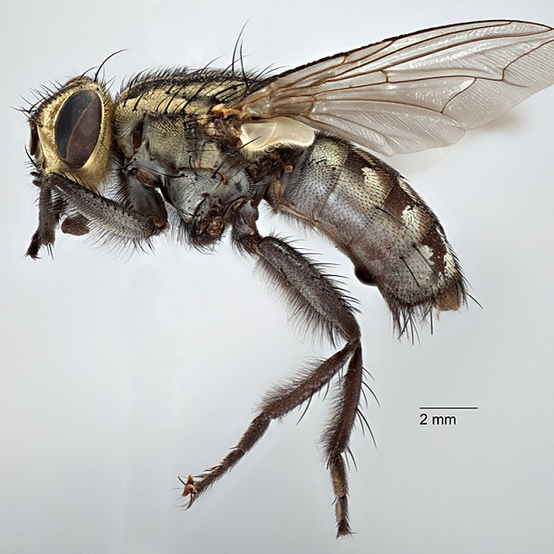 Geoff Thompson's photo of flesh fly