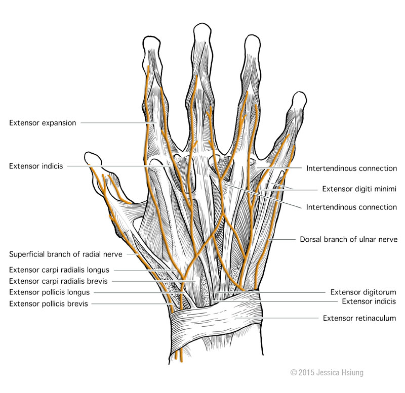 Nerves and tendons of the hand, done in Adobe Photoshop®, © 2015 Jessica Hsiung