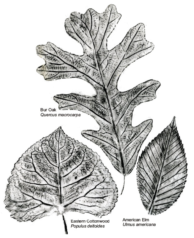 Leaf Rubbing by Gail Selfridge