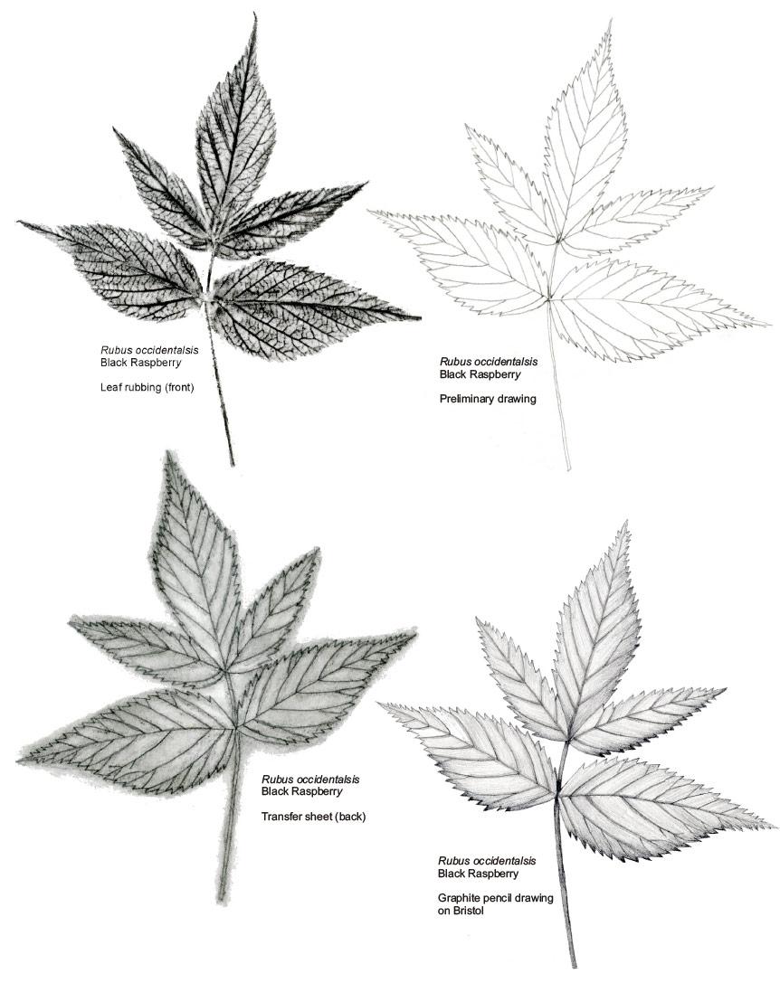 Leaf Rubbing by Gail Selfridge