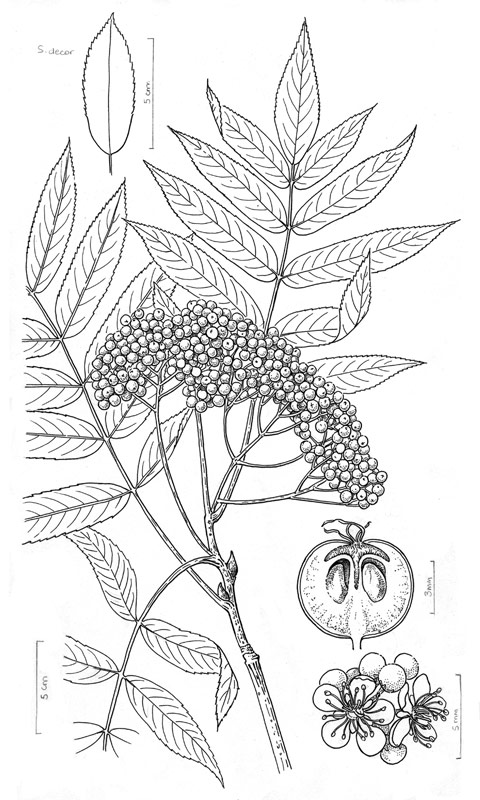 Marj Leggitt botanical illustration