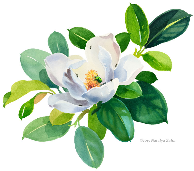 Magnolia & Beetles, watercolor ©2015 Natalya Zahn