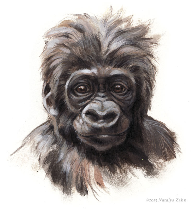 Kambiri Baby's Face, Lowland Gorillas, acrylic and colored pencil; ©2013 Natalya Zahn