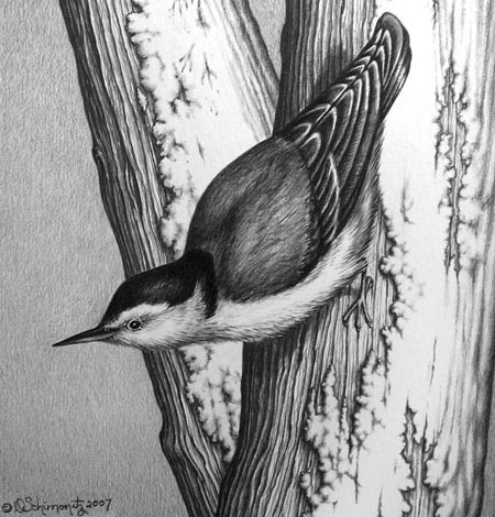 Schminotiz-white-breasted-nuthatch-DSchimonitz-graphite