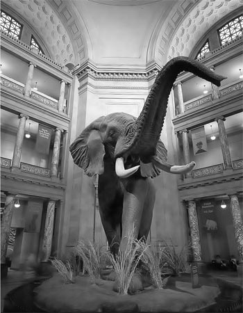 Fig. 1 -  An African bull elephant is the centerpiece of the entrance rotunda of the national museum of natural history. Note that the height of the ceiling on each floor is shorter as they go up in order to exaggerate the perspective. Photo by Chip Clark.
