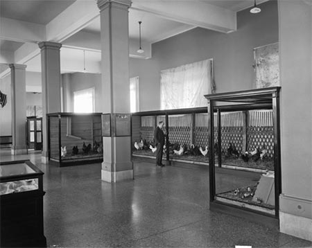 Fig. 2 -This exhibit from the mid-1900s (in what eventually became the mammal hall showed the public what a chicken coop looked like. This figure also shows the false ceiling added to the hall that blocked the original architecture and skylights. Later renovations blocked the windows seen at the back of the room.