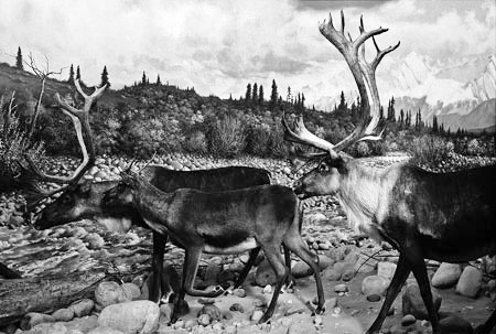 Fig. 3 -Example of the mammal hall prior to the recent renovation: Diorama.