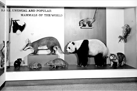 Fig. 4 - Examples of the mammal hall prior to the recent renovation: specimen display.