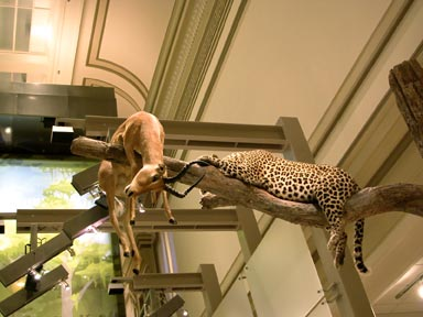 Fig. 6 - The original beaux-arts architecture with skylights can be seen above the taxidermied mammals in the newly renovated hall. Photo by Mary Parrish.