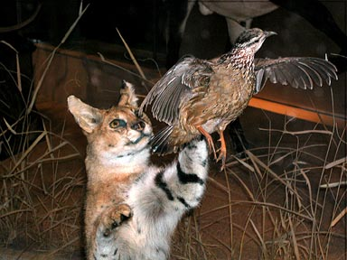 Fig. 7 - Two of the 274 taxidermied specimens on display in the new mammal hall. Photo by Mary Parrish.