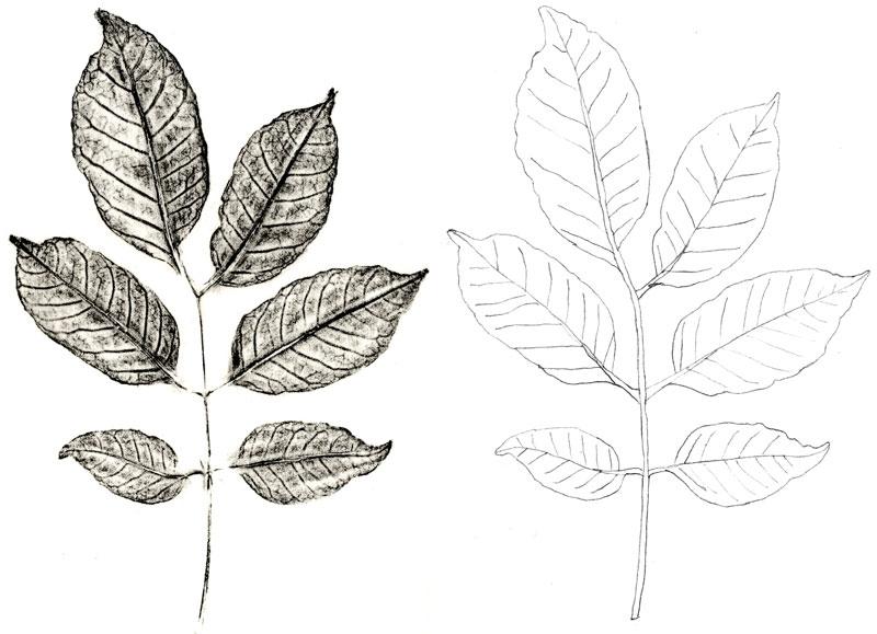 Gail Selfridge leaf rubbing