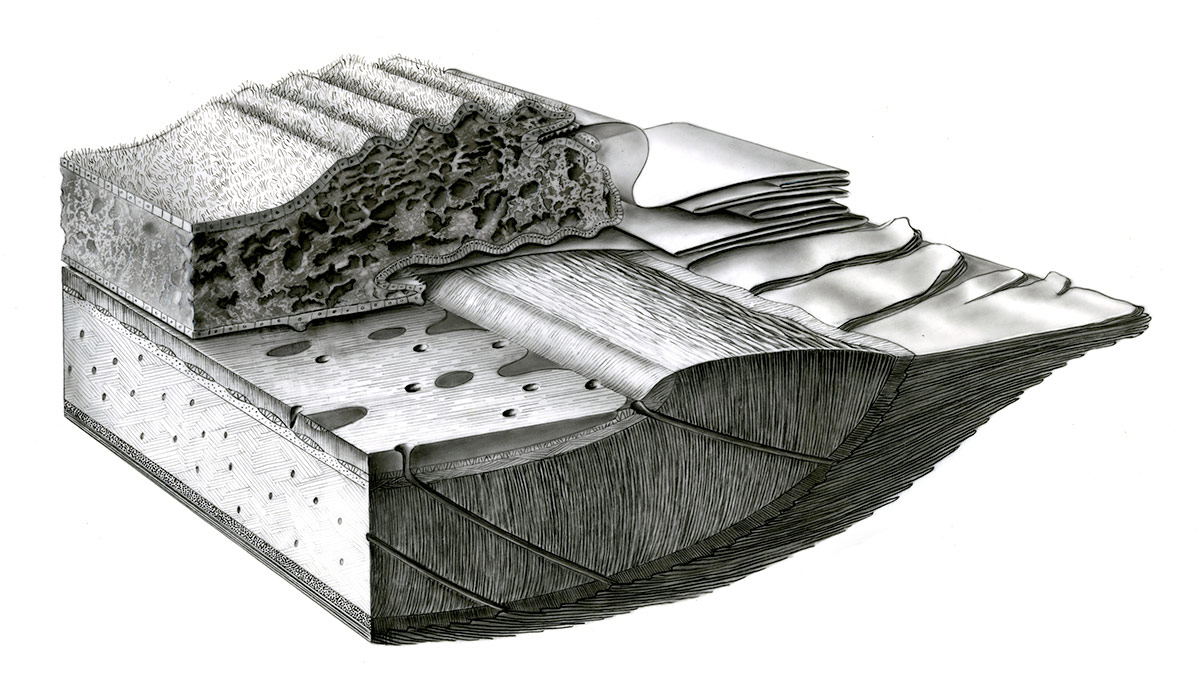 CARBON DUST. SCHEMATIC BLOCK DIAGRAM SHOWING THE RELATIONSHIP BETWEEN MANTLE AND SHELL IN THE CLAM ARCA ZEBRA. WALLER, T.R. 1980. SCANNING ELECTRON MICROSOPY OF SHELL AND MANTLE IN THE ORDER ARCOIDA (MOLLUSCA: BIVALVIA). SMITHSONIAN CONTRIBUTIONS TO ZOOLOGY, 313, 58 P.