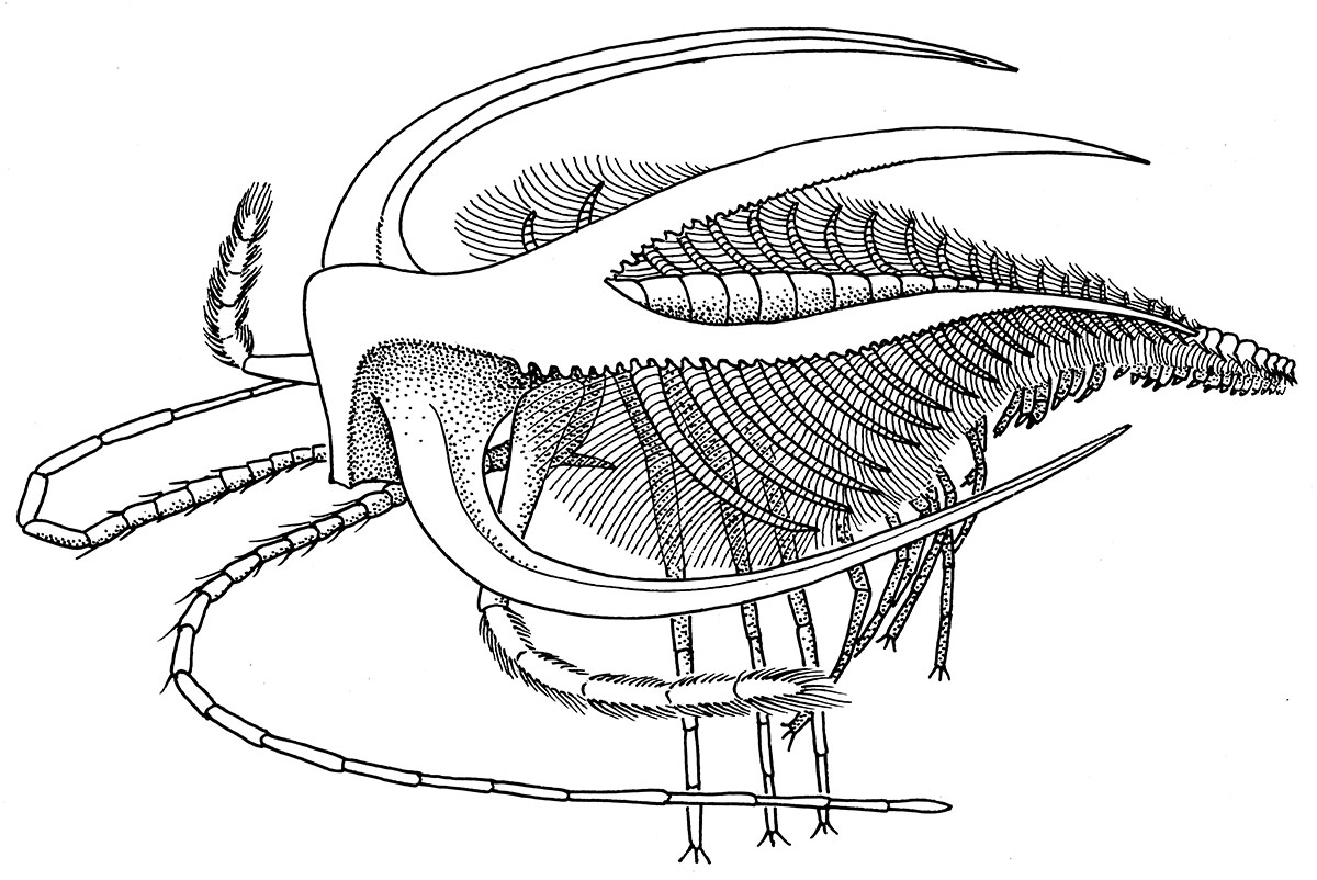 INK. THE CAMBRIAN ARTHROPOD MARRELLA. LABEL ART, NMNH BURGESS SHALE EXHIBIT, AND BRIGGS. D., COLLIER, F., AND ERWIN D. 1994. THE FOSSILS OF THE BURGESS SHALE. SMITHSONIAN BOOKS, WASHINGTON, DC, 256 P.
