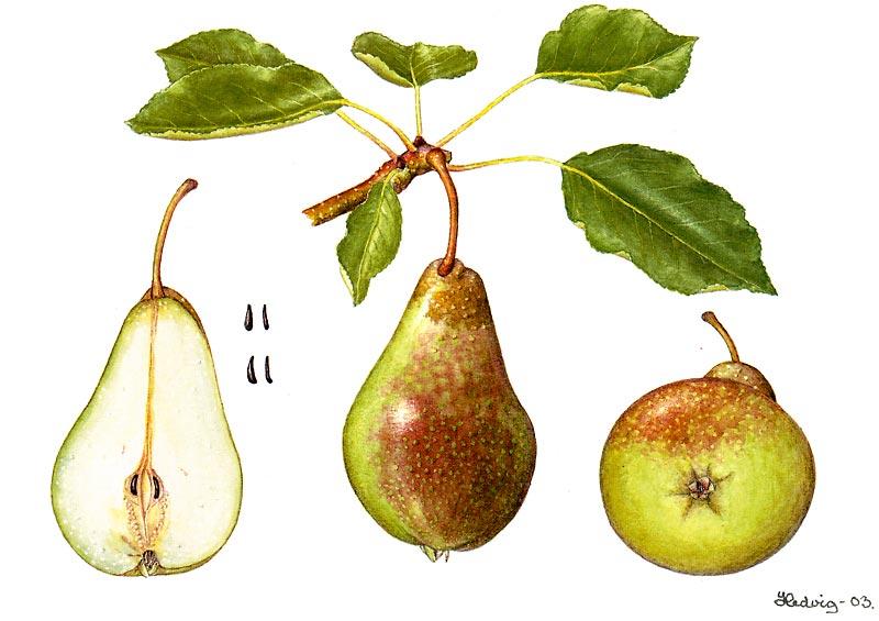 "Pears: 'keiserinne' paere (Pyrus communis l.) , by hedvig østern, 2003, for ""norsk genressurprogram for kulturplanter, etter akvarell av Hedvig østern, 2003"""