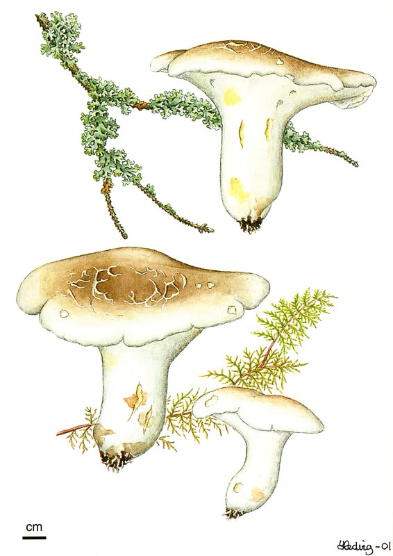 Mushroom: Albatrellus ovinus, fåresopp. An ectomycorrhizal species almost exclusively connected to natural stands of pica abies (Norway spruce), edible.