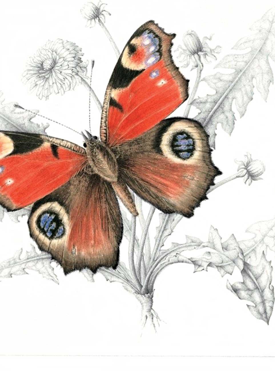 Memb Spotlight ME Taylor_Peacock Butterfly