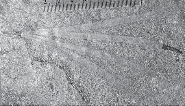 Fig.1 - Sphenobaiera fossil leaf (Field Museum)