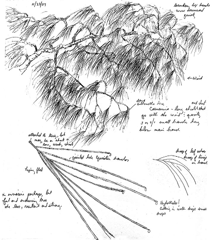Fig. 4 - casuarina sketch. This unrelated but superficially similar plant hinted strongly that the first czekanowskia reconstruction was a physical impossibility. Graphite on paper, 4 in. X 7 in.