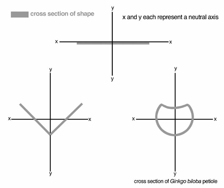 """Fig. 5 - second moment of area. The second moment of area addresses the position of the cross section of a structure relative to horizontal (x) and vertical (y) neutral axes. The greater the distance from the neutral axes, the stronger the structure in that direction (therefore, the cross section on the left can support a higher load than the cross section shown at the top). This is an extreme simplification of a very complex structural engineering principle! The modern ginkgo petiole (diagrammed on the right) is an efficient """"support beam."""" but there is no evidence that czekanowskia or sphenobaiera had similarly differentiated petioles. My problem was to determine how the mechanics of these extinct plants supported their leaves at a sufficiently reasonable angle to efficiently catch light."""