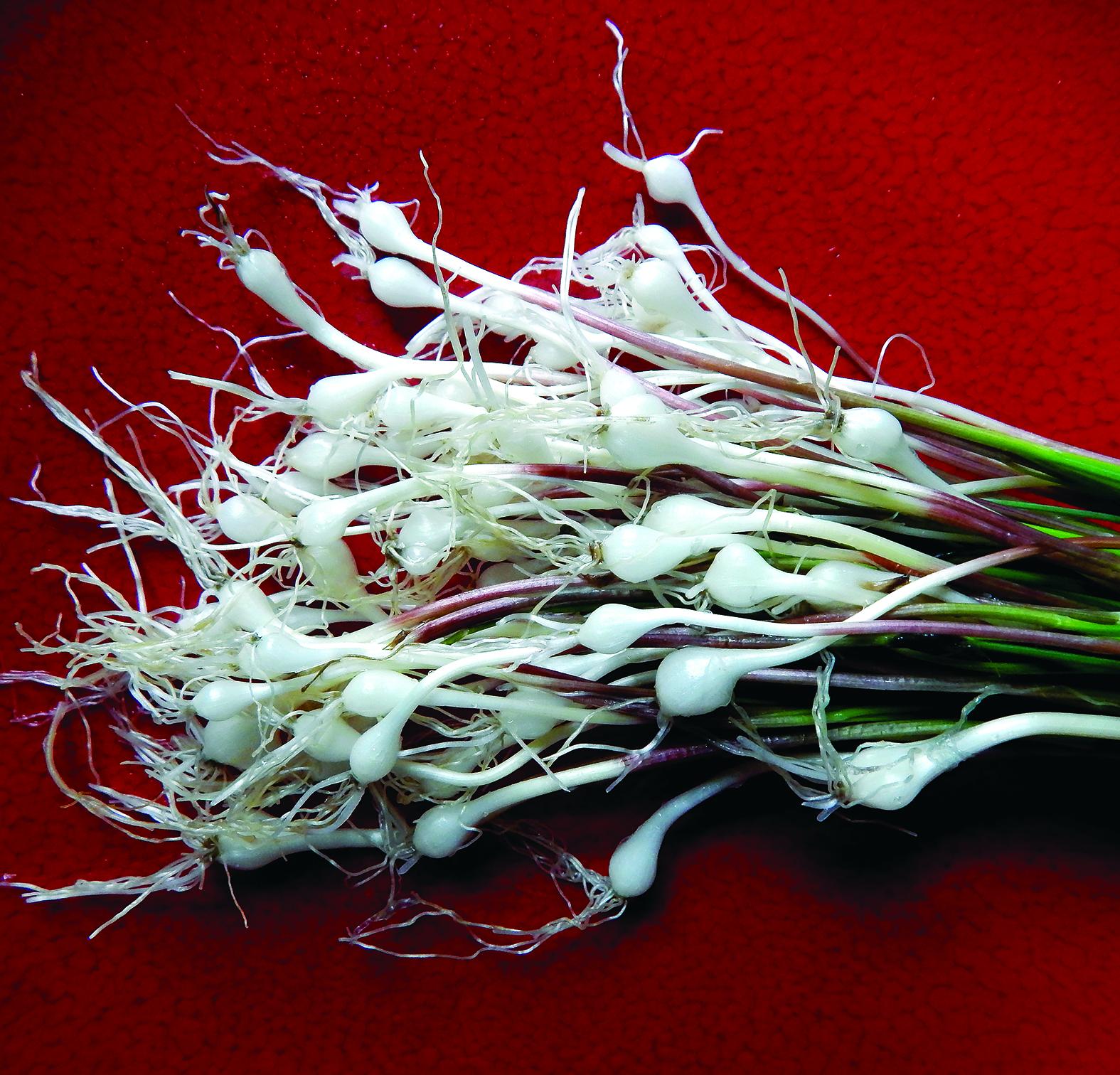 Wild Garlic_Corona